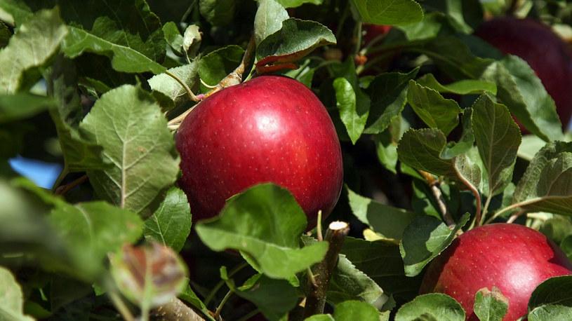 Jabłka odmiany Cosmic Crisp /materiały prasowe