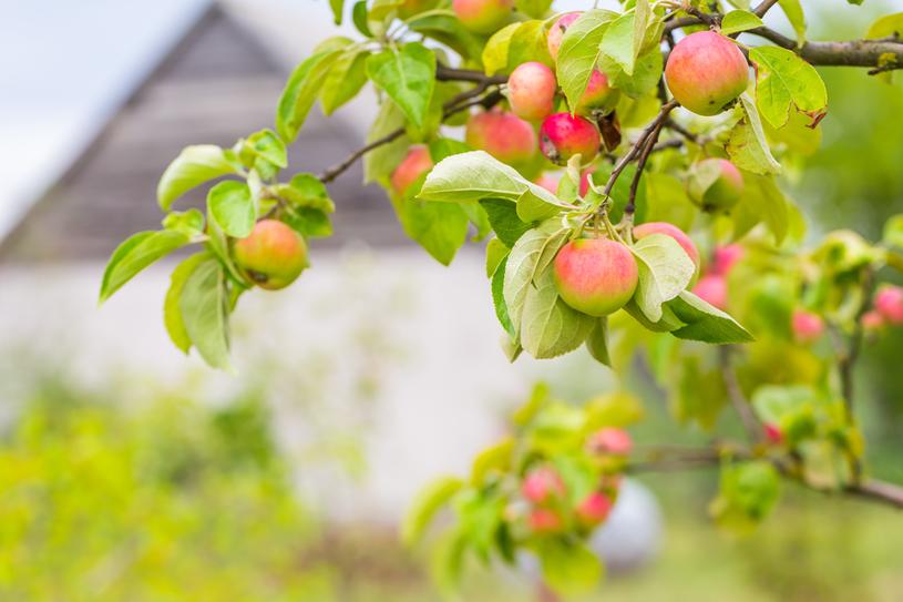 Jabłka są niskokaloryczne i bogate w składniki odżywcze /123RF/PICSEL