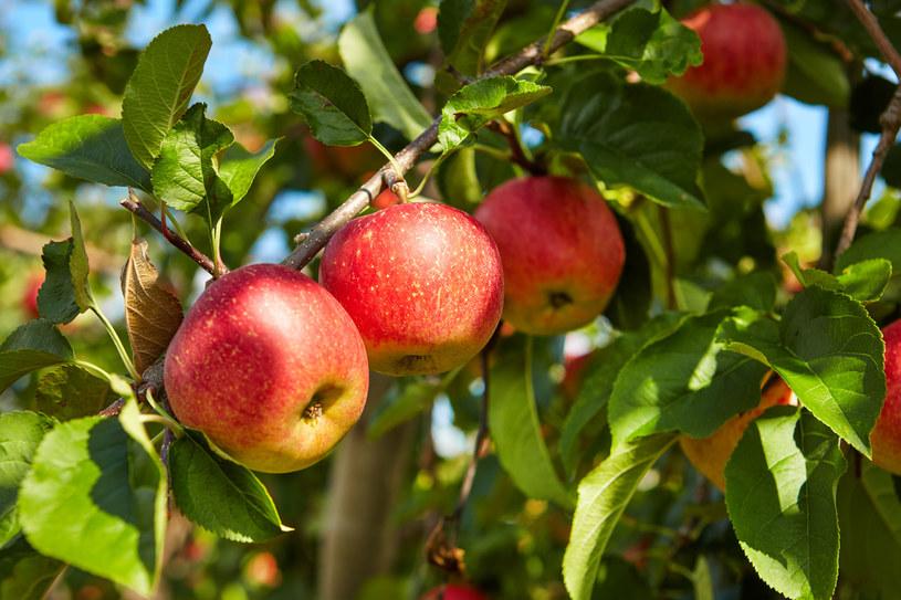 Jabłka z polskich sadów cieszą się ogromną popularnością, również za granicą /123RF/PICSEL