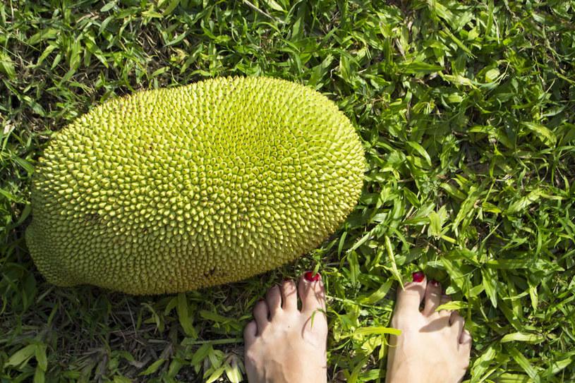 Jackfruit - gigantyczny owoc /©123RF/PICSEL