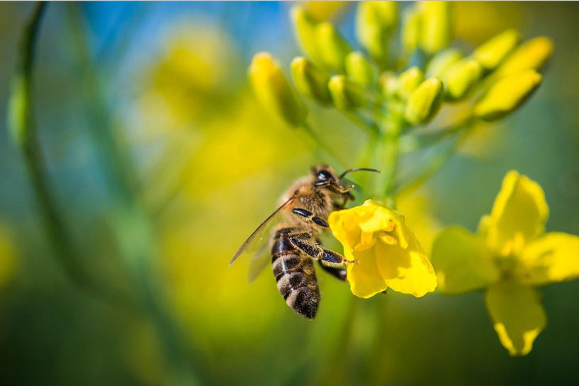 Jad owadów z rodziny błonkoskrzydłych zawiera substancje uczulające /123RF/PICSEL