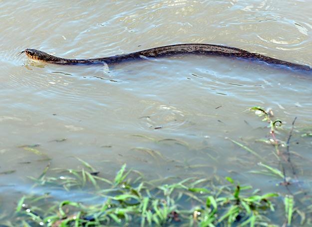 Jadowity wąż brązowy pływający po zalanym Rockhampton /AFP