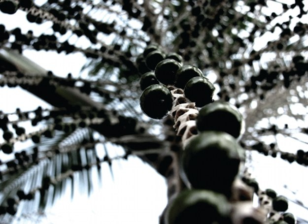 Jagody açai pochodzą z Brazylii /materiały prasowe