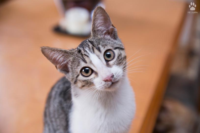 Jak adoptować kota? Wystarczy zadzwonić  pod numer 501 225 409 (pon.-sob. w godz. 12-20) albo wysłać e-mail pod adres: adopcje@stawiamynalapy.pl. /materiały prasowe