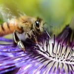 Jak będzie wyglądał świat bez pszczół?