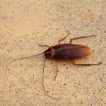 Jak bezpiecznie zwalczyć karaluchy w domu?