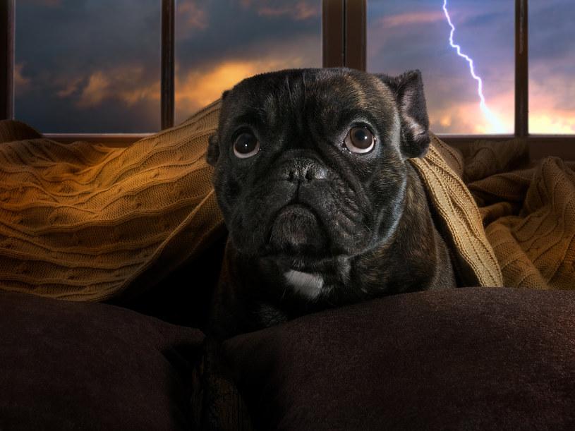 Jak chronić psa przed burzą? /123RF/PICSEL