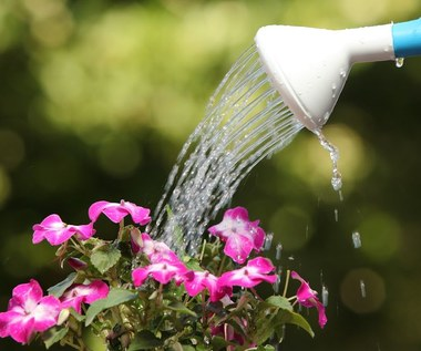 Jak często i kiedy podlewać rośliny w ogrodzie w upały?