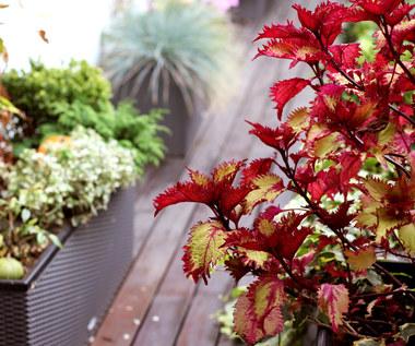 Jak często podlewać rośliny na balkonie i na tarasie we wrześniu?
