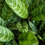 Jak czyścić liście roślin doniczkowych?