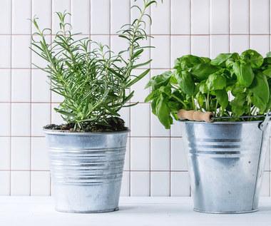 Jak dbać o zioła kupione w markecie, by pięknie rosły w domu?