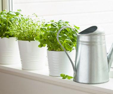 Jak dbać o zioła w doniczkach?
