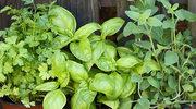 Jak dbać zimą o zioła doniczkowe?