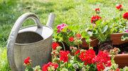 Jak hodować pelargonie