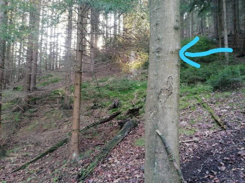 Jak informuje Nadleśnictwo Kamienna Góra, dwie linki zostały znalezione w lasach nad ogródkami działkowymi, jedna na Świętej Górze /Nadleśnictwo Kamienna Góra /