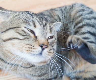Jak leczyć świerzb u kota?