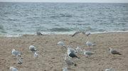 jak mewa za morze ;-)