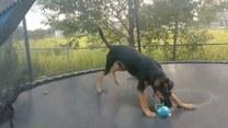 Jak na trampolinie odnalazł się owczarek niemiecki?