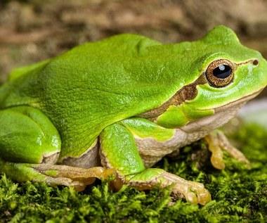 Jak narysować żabę?