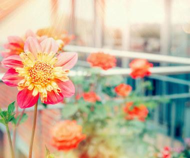 Jak ochronić rośliny balkonowe przed zimą?