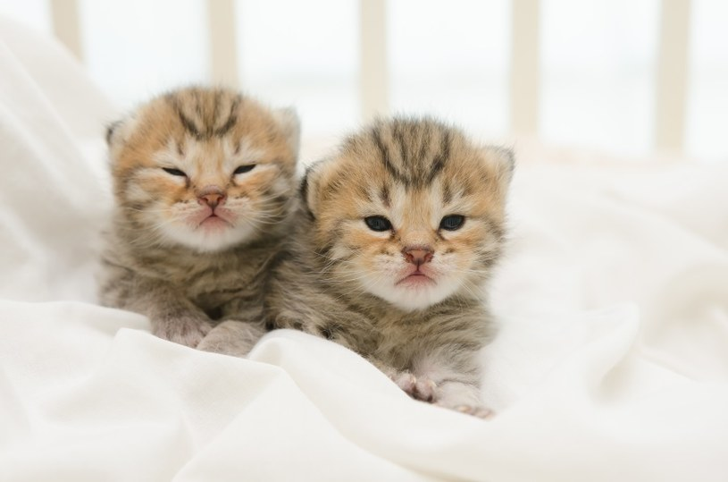 Jak odróżnić kota od kotki? /©123RF/PICSEL
