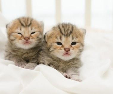 Jak odróżnić kota od kotki?