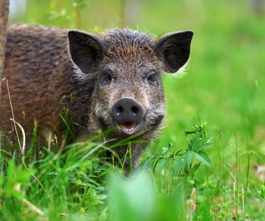 Jak odstraszyć i wypędzić dziki z działki czy ogrodu? Sprawdzone sposoby