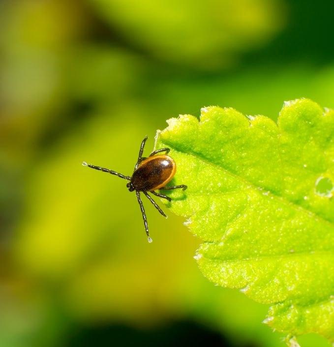 Jak odstraszyć kleszcze w ogrodzie? /©123RF/PICSEL