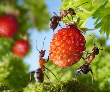 Jak odstraszyć mrówki z ogrodu?