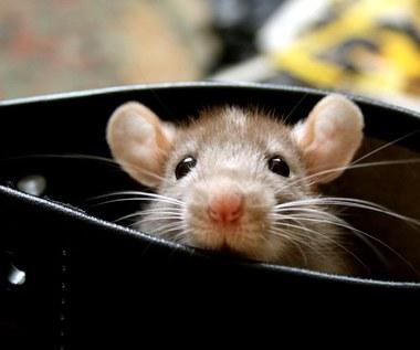 Jak odstraszyć myszy z domu?