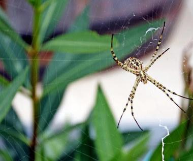 Jak odstraszyć pająki z domu?