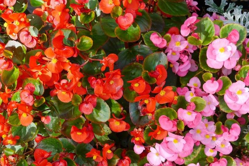 Jak pielęgnować begonie? /©123RF/PICSEL
