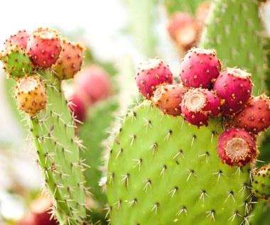 Jak pielęgnować kaktusy?