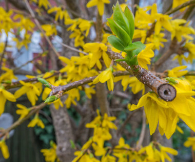 Jak pielęgnować krzewy wiosną?