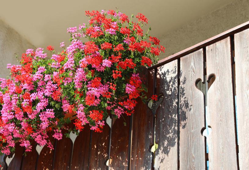 Jak pielęgnować kwiaty na balkonie? /©123RF/PICSEL