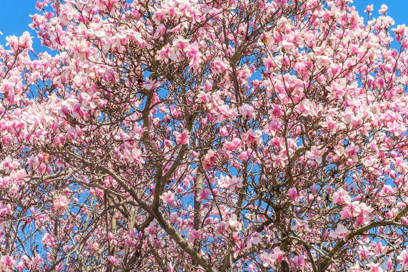 Jak pielęgnować magnolię? /©123RF/PICSEL
