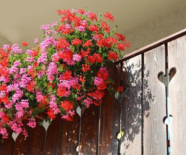 Jak pielęgnować popularne kwiaty balkonowe?