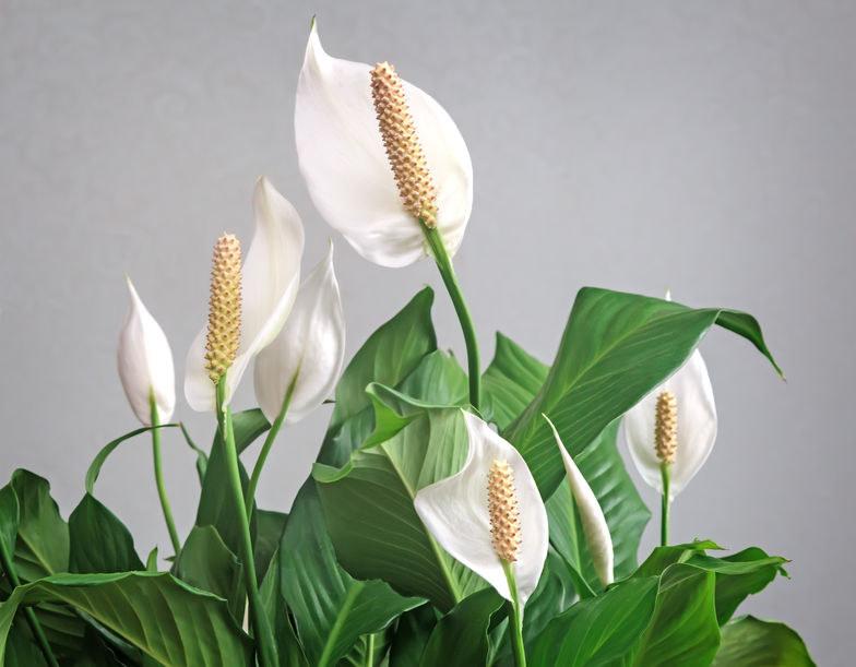 Jak pielęgnować skrzydłokwiaty? /©123RF/PICSEL