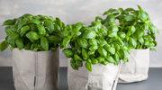 Jak pielęgnować zioła wdoniczce?