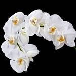 Jak pobudzić storczyka do kwitnienia?
