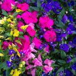 Jak poprawić wygląd roślin balkonowych?