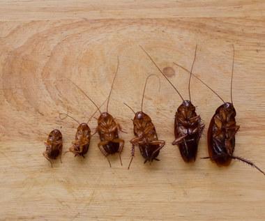 Jak pozbyć się karaluchów z domu?