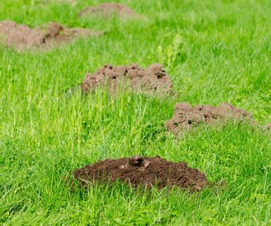 Jak pozbyć się kretów z ogrodu?