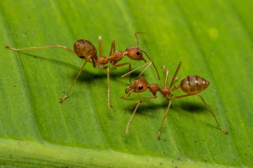 Jak pozbyć się mrówek z ogrodu? /©123RF/PICSEL