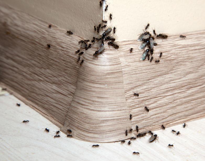 Jak pozbyć się mrówek? /©123RF/PICSEL
