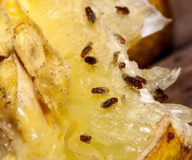 Jak pozbyć się muszek owocówek? Sprawdzone metody