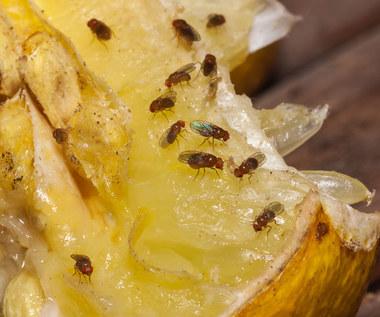 Jak pozbyć się muszek owocówek za pomocą goździków?