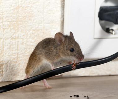 Jak pozbyć się myszy i innych gryzoni z domu?