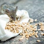 Jak pozbyć się myszy z domu? Sprawdzone sposoby