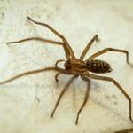 Jak pozbyć się pająków z domu? Sprawdzone sposoby